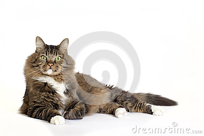 Norwegian Forest Cat Mix Laying Stock Photo Image 49036225