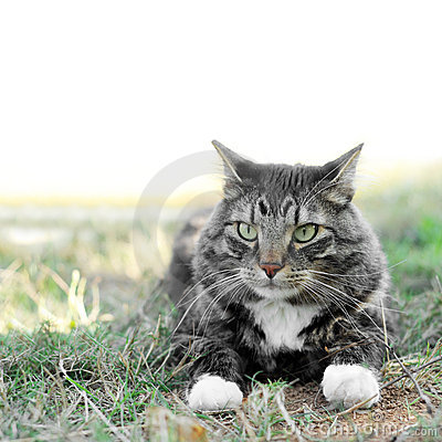 Free Maine Coon Pet Cat Outside On Grass Stock Photography - 16403412