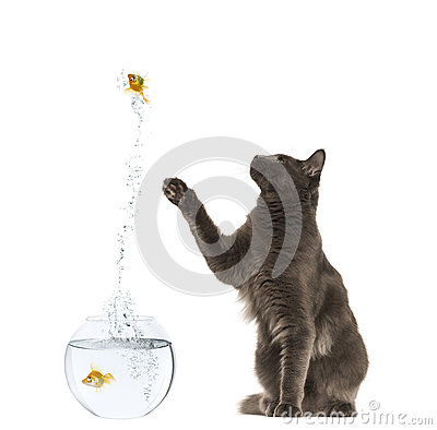 Maine Coon reaching at a goldfish jumping