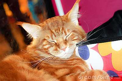 Maine-coon red cat