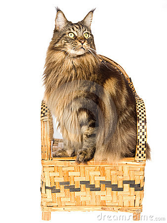 Maine Coon sitting on bamboo chair