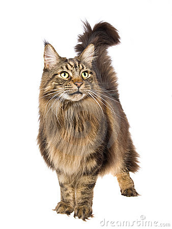 Maine Coon standing on white background