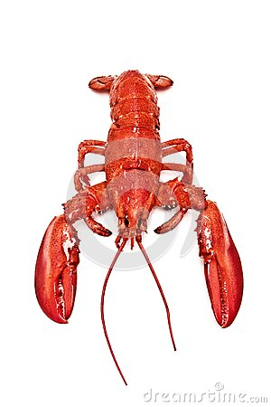 Maine lobster isolated stock photo image 32032520 for Best time to visit maine for lobster