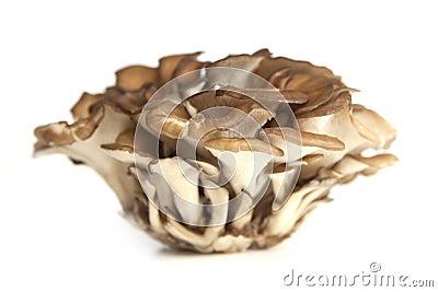 Maitake Mushroom Cluster