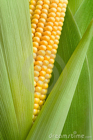 Free Maize Cob Detail Stock Photography - 5857242