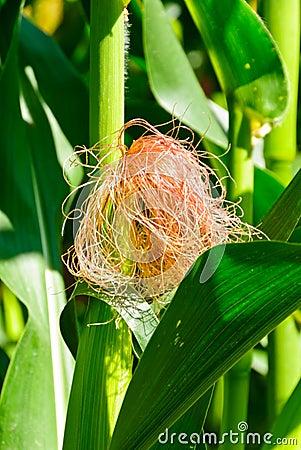 Maize ear