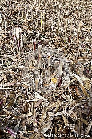 Maize field after cutting