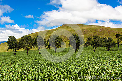 Maize Field Green Trees Mountains
