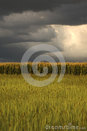 Maize field with thunderstorm clouds