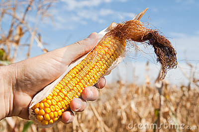 Maize in hand