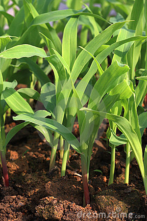 Maize seedlings