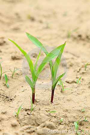 Free Maize Seedlings In The Field Stock Photos - 32968493
