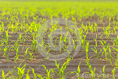 Maize shoots on farmer field agriculture spring Stock Photo