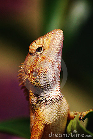 Majestetic Lizard