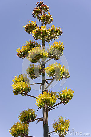 Free Majestic Agave Plant Royalty Free Stock Photography - 25000917