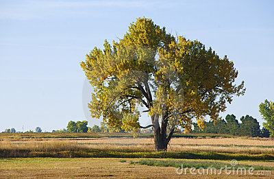 Majestic Autumn Cottonwood