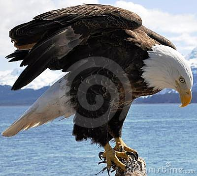 Free Majestic Bald Eagle Royalty Free Stock Images - 14691409