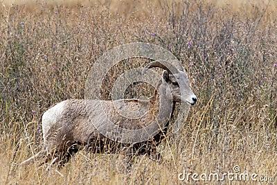 Majestic bighorn ewe.