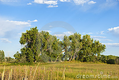 Majestic Cottonwood Trees in Late Afternoon