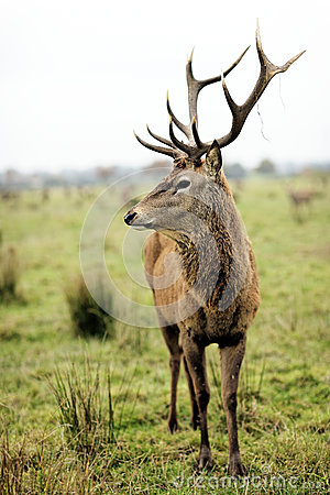 Majestic deer in alert
