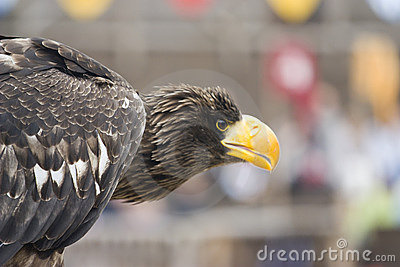 Majestic eagle