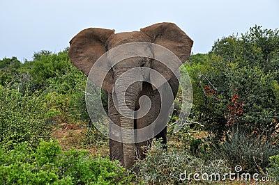 Majestic elephant walking towards me