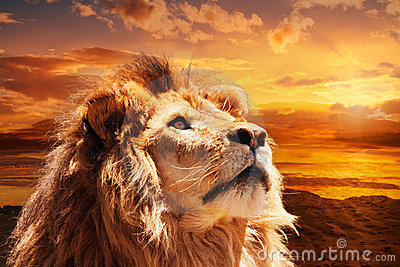 Majestic lion Stock Photo