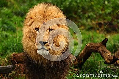 Majestic lion portrait