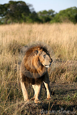 Majestic lion standing in the grass