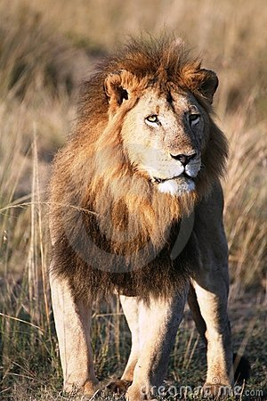 Free Majestic Lion Standing In The Grass Plains Royalty Free Stock Image - 4199276