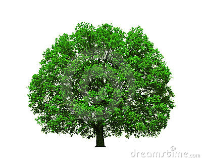 Majestic oak tree isolated