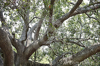 Majestic Old Live Oak Tree