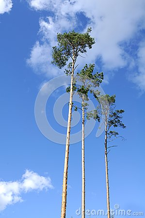 Majestic Pine Trees on Blue Sky Background