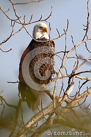 Majestic profile of a bald eagle.