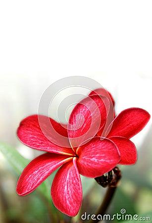 Majestic red frangipani