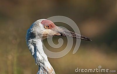 Majestic Sandhill Crane