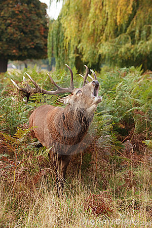 Majestic Stag braying Wild Red Deer