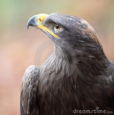 Majestic steppe eagle