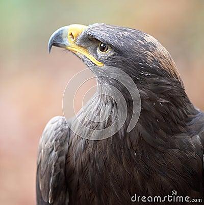 Majestic steppe eagle