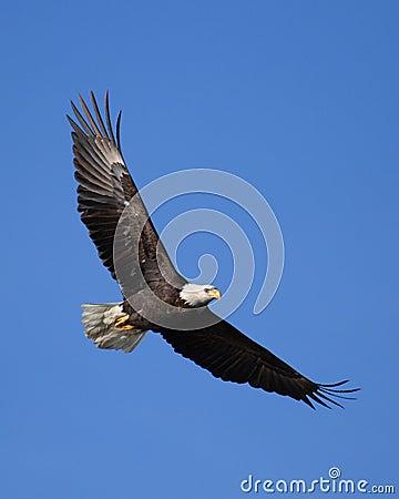 Majestätischer kahler Adler