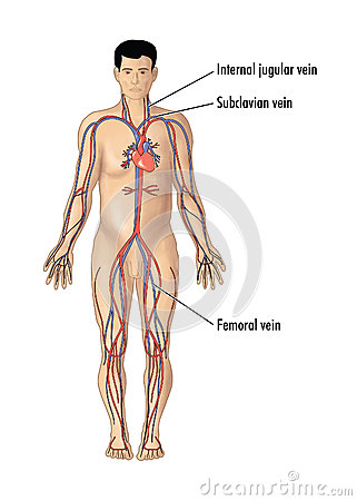 Circulatory System 6 as well Anatomy Of Arteries And Veins Arteries And Veins Anatomy Human Anatomy additionally 10 Facts About Circulatory System likewise Stock Illustration Major Blood Vessels Central Line Insertion Drawing Arteries Veins Focusing Vein Sites Catheter Image41539225 moreover Human Body Anatomy. on human circulatory system arteries and veins