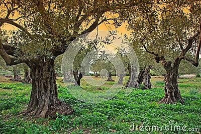 Majorca Olive Trees