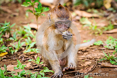 Makakenaffe in den wild lebenden Tieren