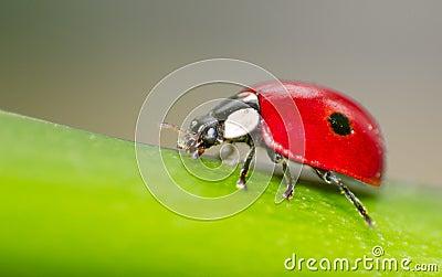 Makro av en röd nyckelpiga