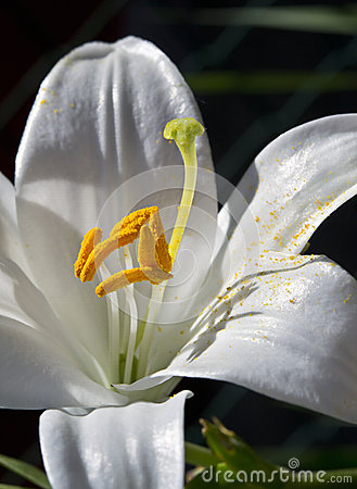 Makro der weißen Lilie