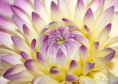 Makro rosafarbene Blume