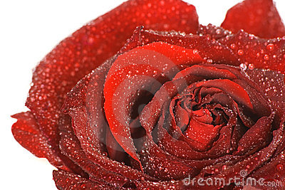 Makro rose red bud with water