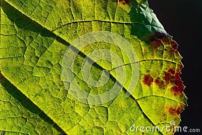 Makroansicht des grünen Blattes