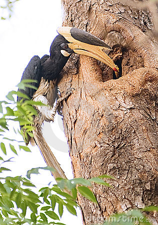 Free Malabar Pied Hornbill Royalty Free Stock Image - 10135806