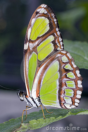 Free Malachite Butterfly Stock Images - 6441694